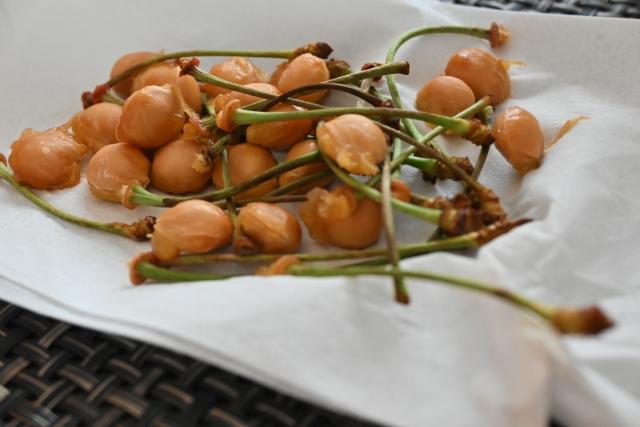 さくらんぼの種